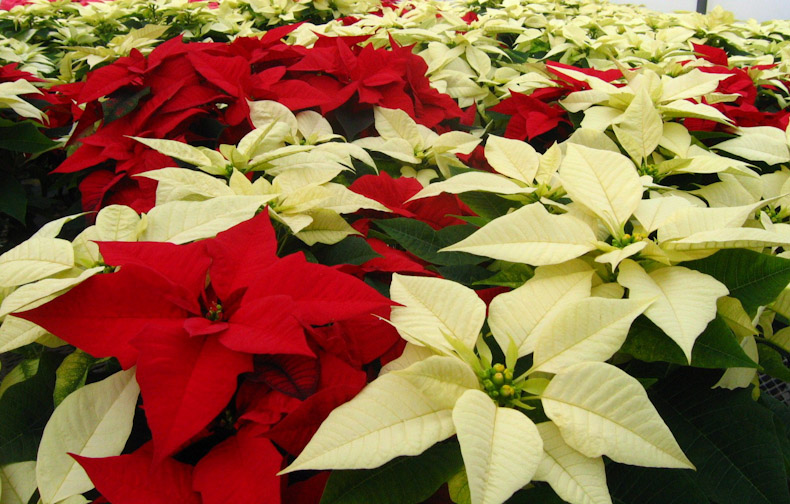 or red poinsettia - photo #20